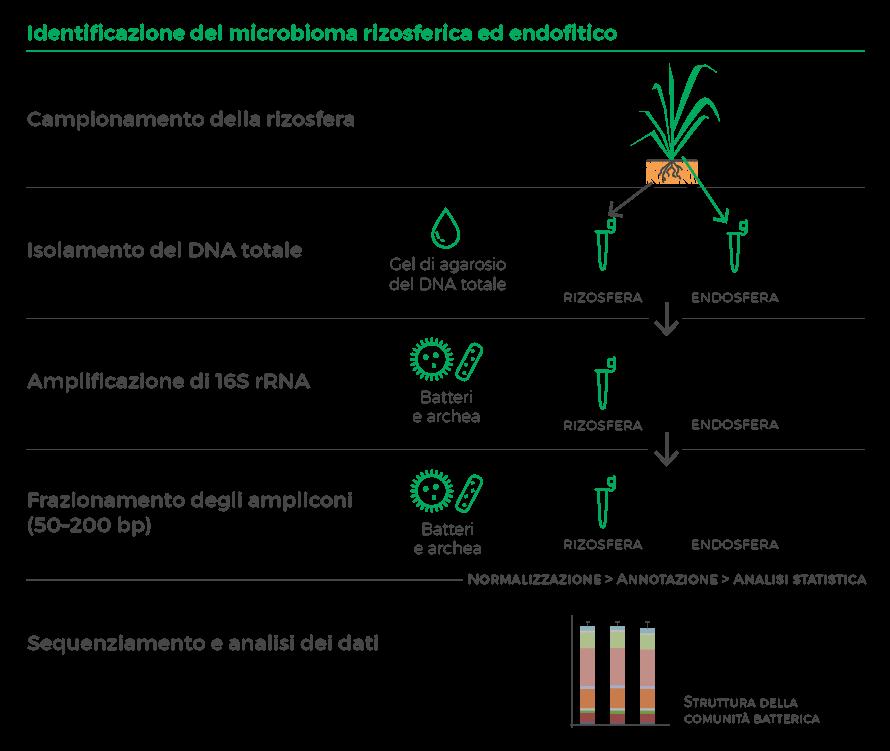 Figura 1: Identificazione del microbioma rizosferico e endofitico